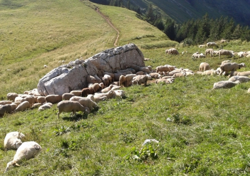 Moutons Dent de Crolles.jpg