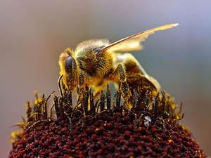 abeille pollen wiki.jpg